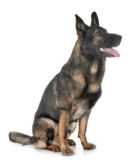 Grauer deutscher schäferhund