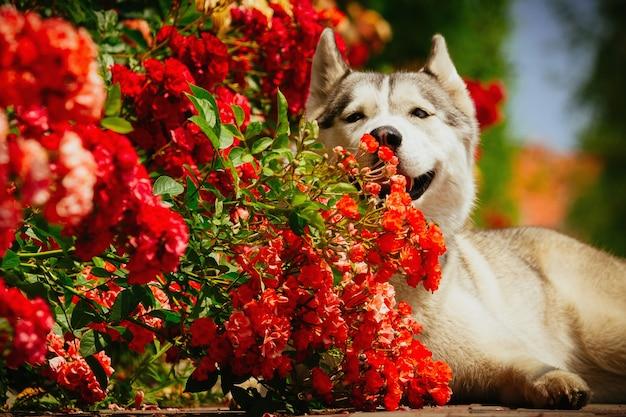 Grauer hund, der nahe einem busch liegt, der rosen blüht. porträt eines siberian husky.