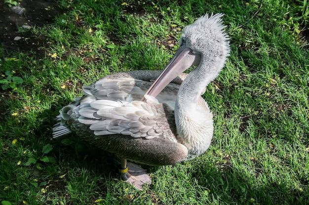 Grauer pelikan auf dem gras, der seinen flügel mit seinem schnabel kratzt