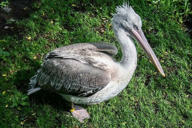 Grauer pelikan auf dem gras