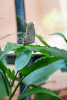 Grauer schmetterling mit schwarzen flecken auf dem flügel, der auf einem grünen blatt im garten sitzt selektiver fokus