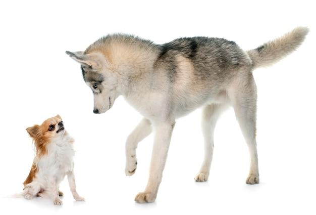 Grauer siberian husky und chihuahua