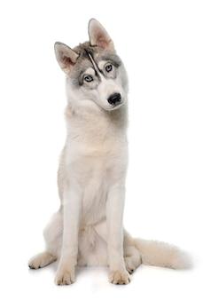 Grauer siberian husky