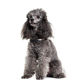 Grauer sitzender pudelhund, ausgeschnitten