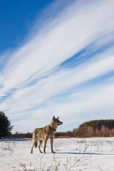 Grauer wolf auf dem hintergrund eines atemberaubenden blauen himmels. winter warme sonne und schnee