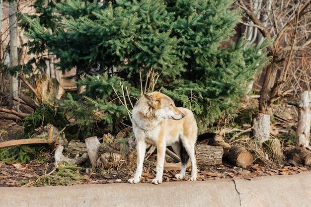 Grauer wolf im zoo, wildes tier