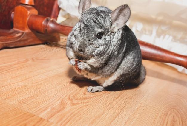 Graues chinchilla sitzt auf dem boden. nettes flauschiges haustier, das apfel isst.