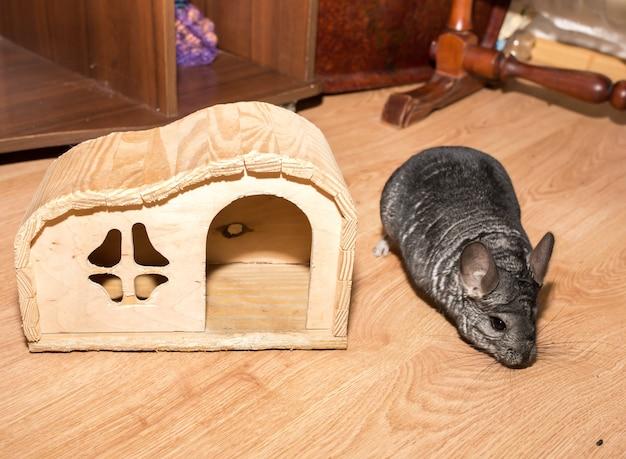 Graues chinchilla sitzt auf dem boden. nettes flauschiges haustier in der nähe des holzhauses.