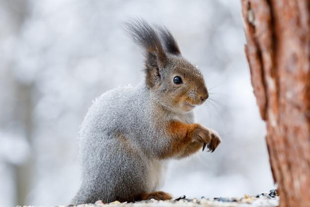 Graues eichhörnchen auf baum im winterpark