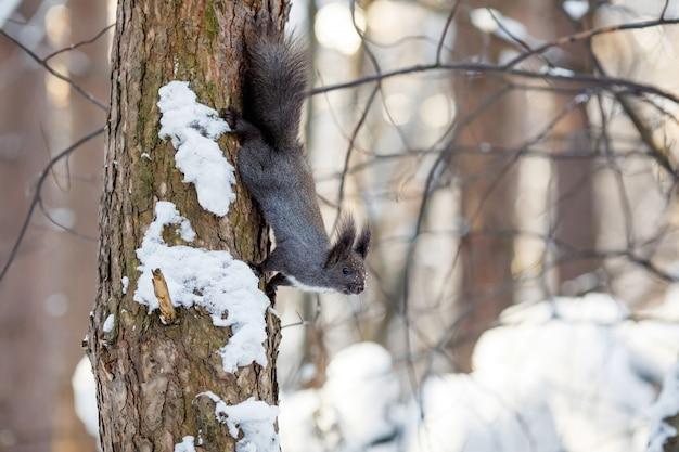 Graues eichhörnchen, das am baum im winterpark hängt