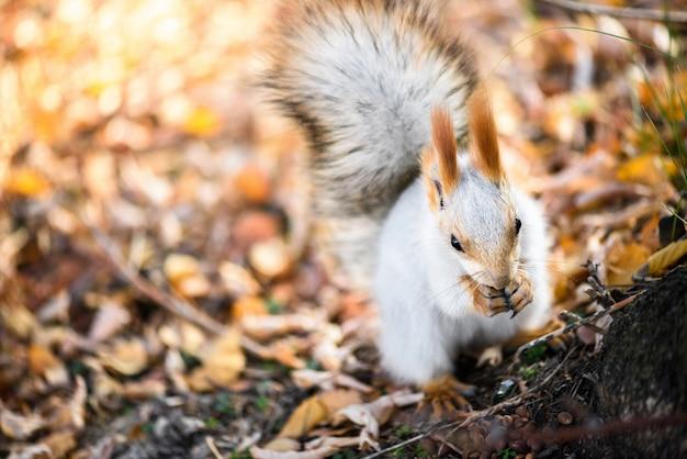 Graues eichhörnchen frisst samen im herbstwald