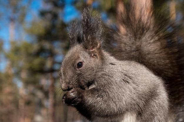 Graues eichhörnchen im profil, das nüsse in der winternahaufnahme im wald isst