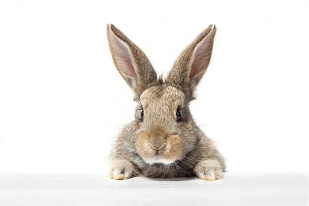 Graues flaumiges kaninchen, das das schild betrachtet. isoliert auf weißem hintergrund. osterhase