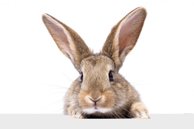 Graues flaumiges kaninchen, das das schild betrachtet