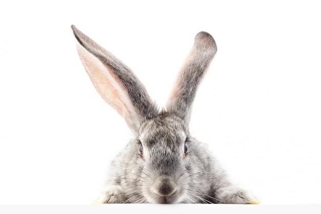 Graues flaumiges kaninchen, welches das schild betrachtet. isoliert. e