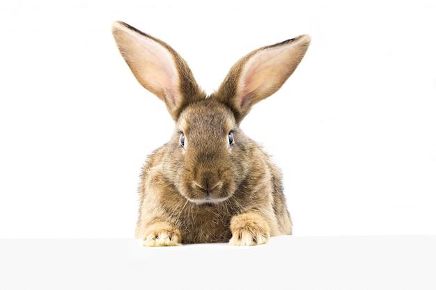Graues flaumiges kaninchen, welches das schild betrachtet. isoliert.