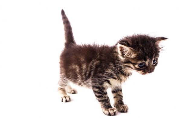 Graues gestreiftes kätzchen mit blauen augen. isolierte weiß