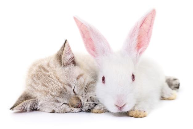Graues kätzchen, das mit weißem kaninchen auf weiß spielt.