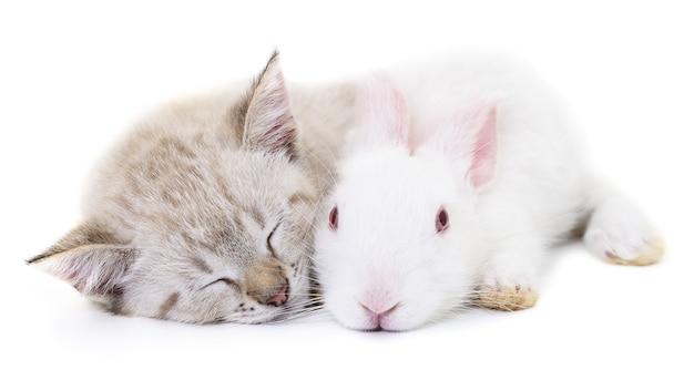 Graues kätzchen, das mit weißem kaninchen auf weiß spielt