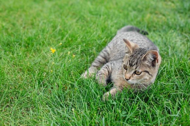 Graues kätzchen liegt im grünen gras