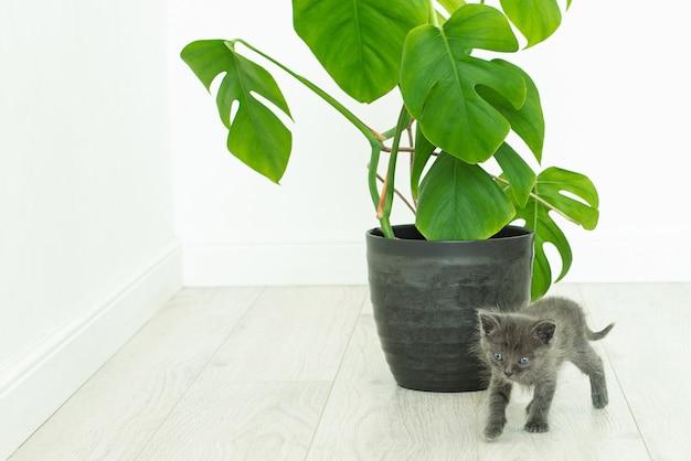 Graues kätzchen und heimische pflanzenmonstera. topfblume in einem innenraum ohne menschen