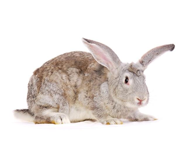 Graues kaninchen isoliert auf weiß