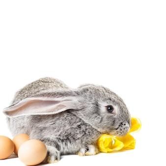 Graues kaninchen mit tulpen und eiern auf weiß