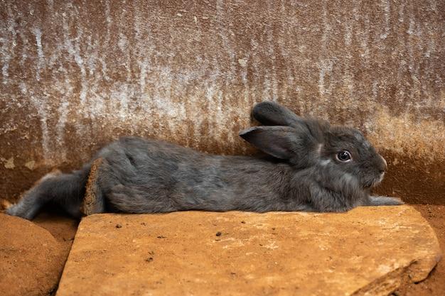 Graues kaninchen oder hase oder hase, die auf boden ruhen