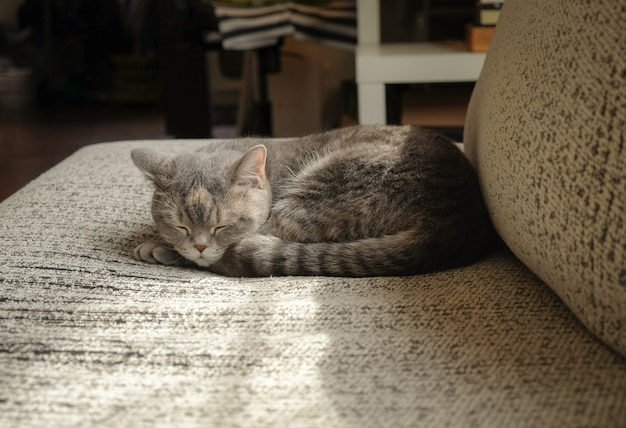 Graues katzenkurzhaar, das an einem morgen auf sofa schläft