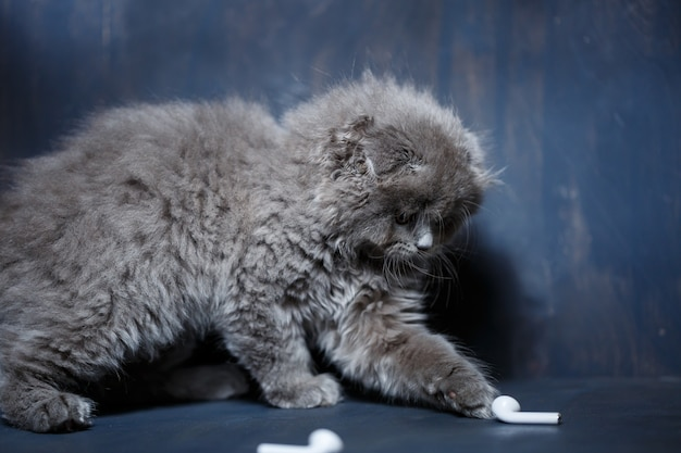 Graues kleines schottisches kätzchen spielt mit drahtlosen weißen kopfhörern