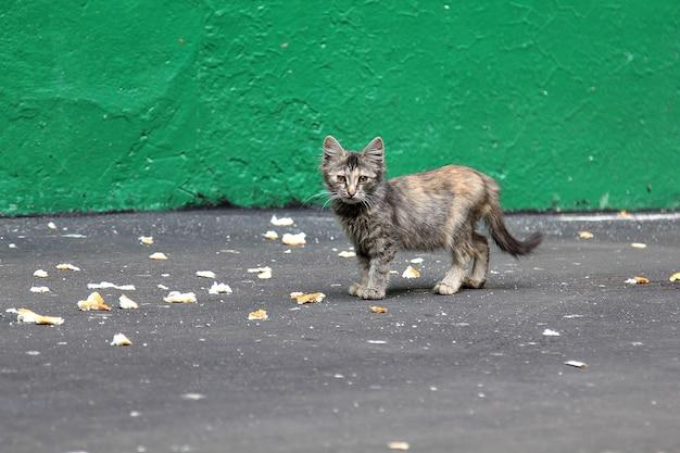 Graues obdachloses kätzchen, das auf die straße geht und brot aus asphalt isst grüne wand im hintergrund