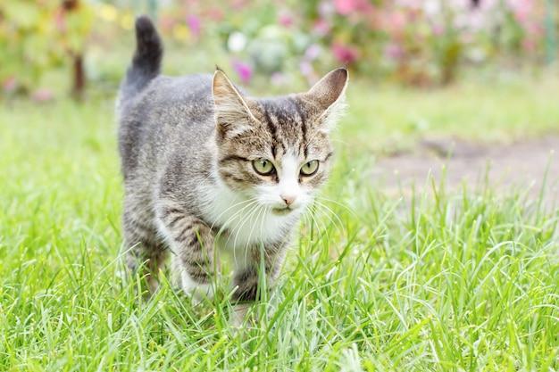 Graues und weißes junges kätzchen der getigerten katze, das auf grünem gras im freien mit natürlichem hintergrund geht. porträt mit geringer schärfentiefe