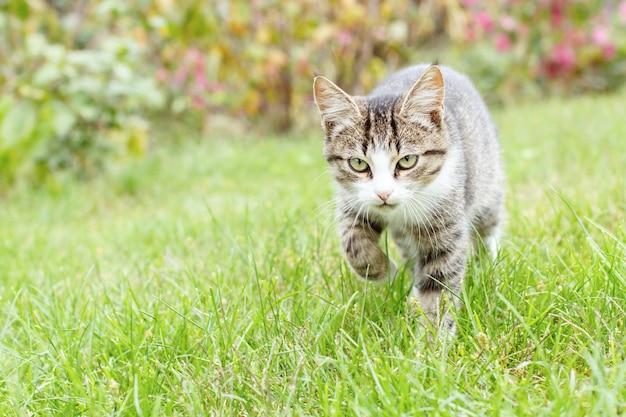 Graues und weißes junges kätzchen der getigerten katze, das auf grünem gras im freien mit natürlichem hintergrund geht