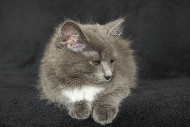 Graues und weißes kätzchen nah oben auf einem schwarzen