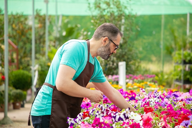 Grauhaariger mann, der mit pflanzen im topf im gewächshaus arbeitet. bärtiger professioneller gärtner in der schwarzen schürze, die schöne blühende blumen wächst. selektiver fokus. gartenarbeit und sommerkonzept