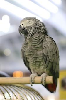 Graupapagei, exotischer vogel, der aufwirft. sprechender vogel