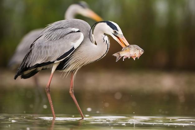 Graureiher, der mit einem anderen im wasser fischt