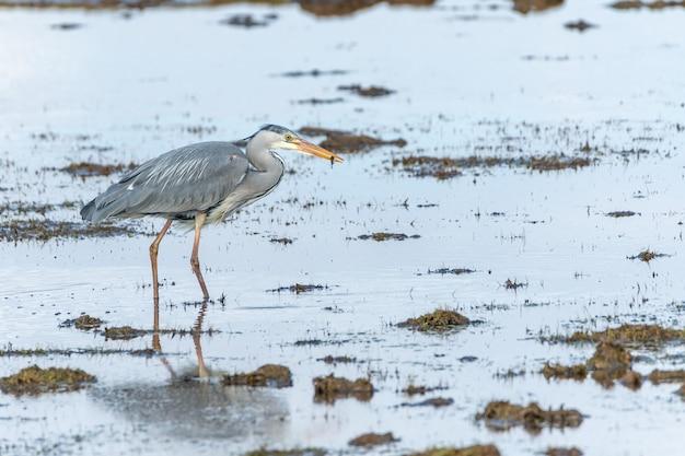 Graureiher, der tagsüber einen fisch in einem see fängt