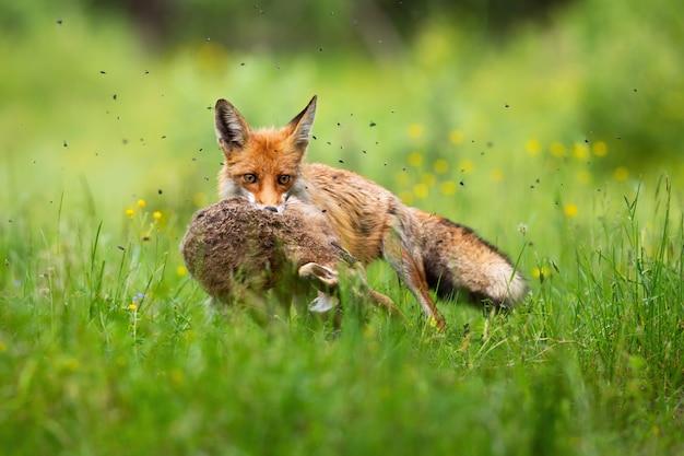 Grausamer roter fuchs, der gefangenen hasen im mund im grünen gras hält.