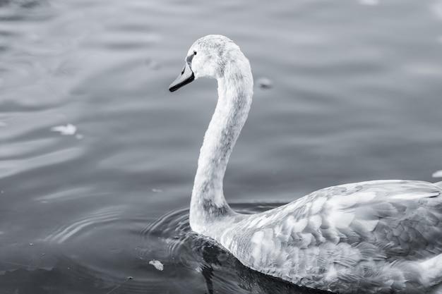 Graustufenaufnahme eines schwans, der auf einem see schwimmt