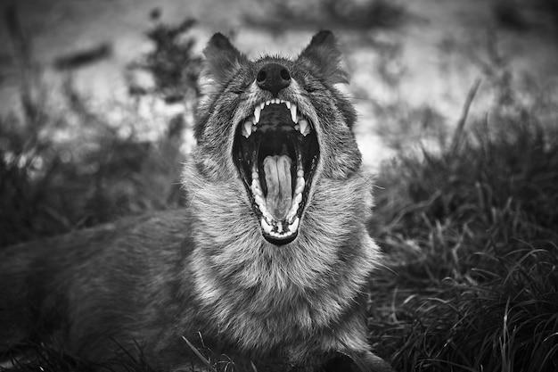 Graustufenaufnahme eines wolfes in der natur