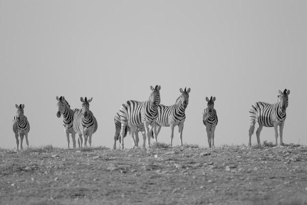Graustufenaufnahme von zebras, die in der ferne stehen