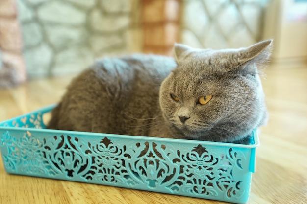 Gray american shorthair überraschte die großen augen des lustigen gesichtes der katze oder des kätzchens, die auf rosa teppich schlafen.