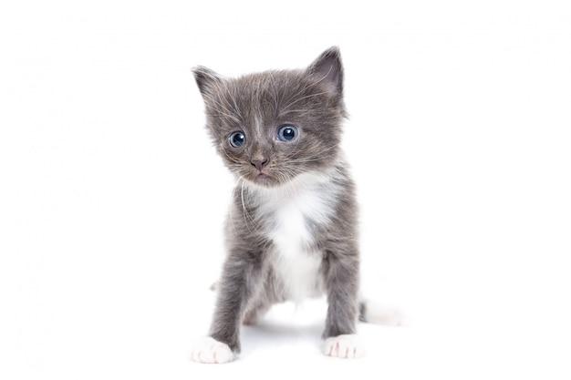 Gray kitten auf weißem hintergrund
