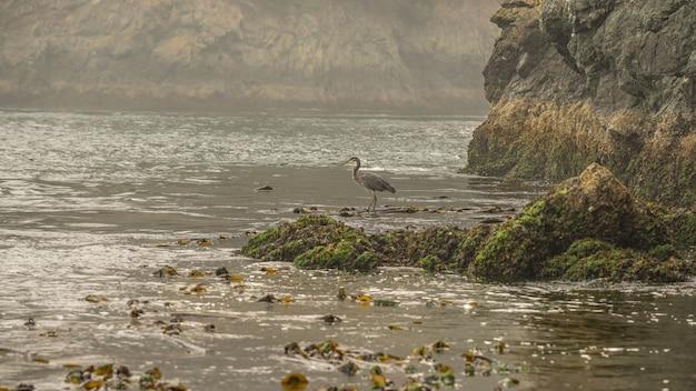 Great blue heron steht morgens allein an einer strandlinie