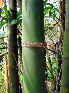 Green bamboo-detail