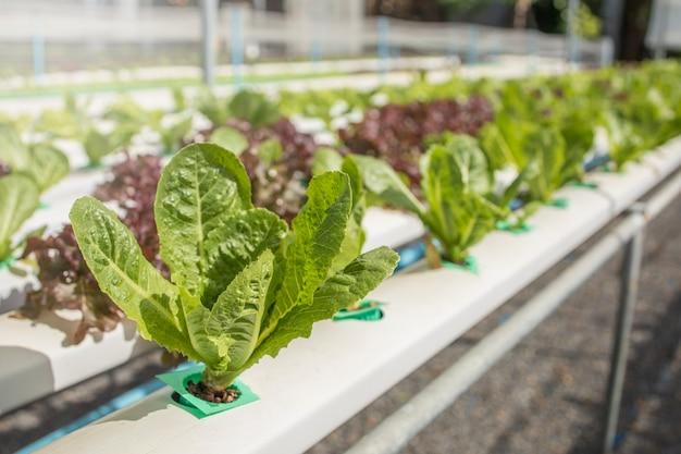Green cos gemüse hydropronic wachsen landwirtschaft rohstoff lebensmittelmarkt
