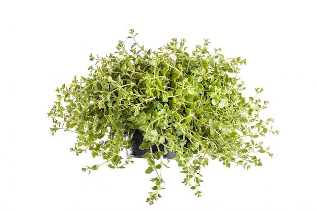 Green dave tree oder klet pla mho