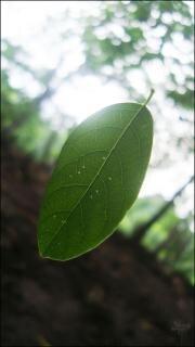 Green leaf einzel