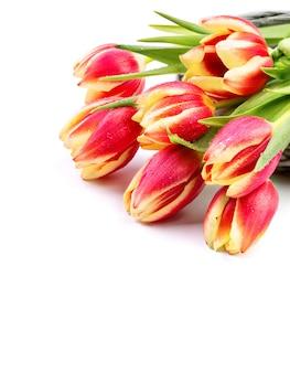 Grenzelement für ihr frühlingsdesign mit den roten gestreiften tulpen lokalisiert auf weiß